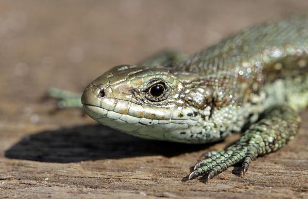 Viviparous lizard by nutmeg66