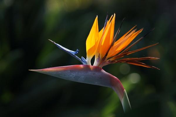 Bird of Paradise by nutmeg66