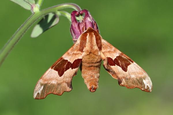 Lime Hawk-moth by nutmeg66