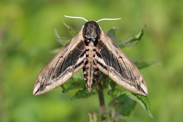 Privet Hawk-moth by nutmeg66