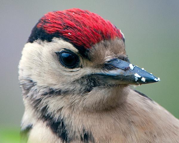 Great spotted woodpecker by PIXELLENCE