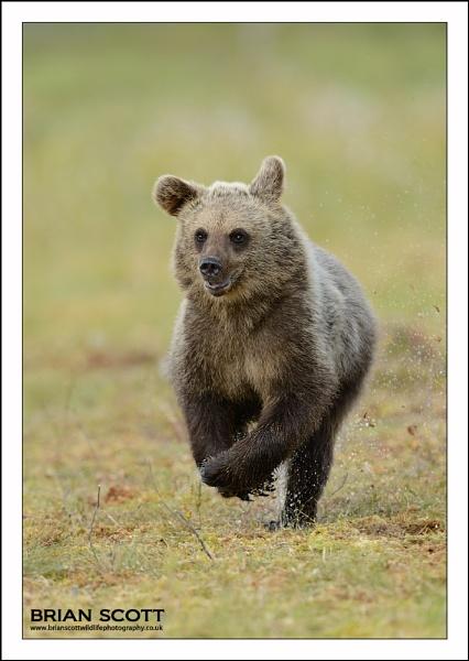 Running Bear by Brian_Scott
