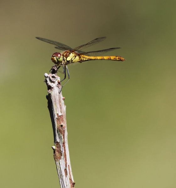 Dragonfly by Fairoaks