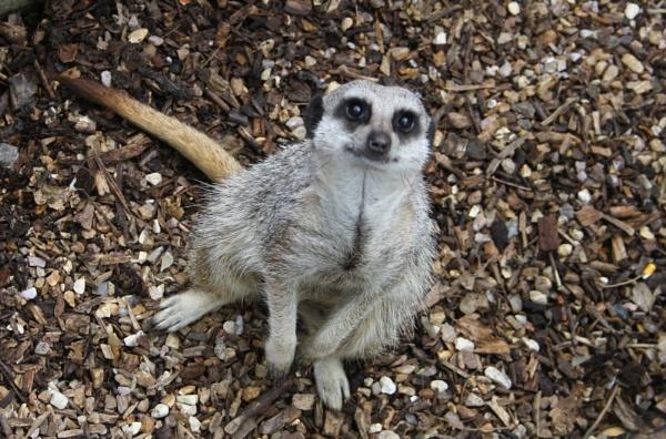 meerkat by min