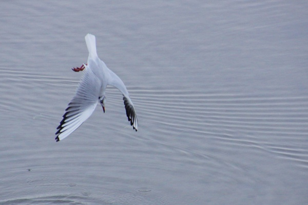 Little Gull diving by Jusben