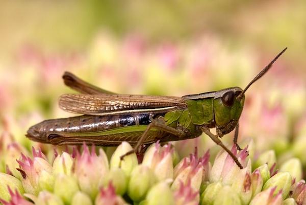 Grasshopper by helena
