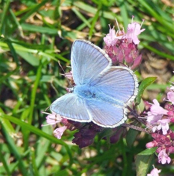 Meleagers Blue - again