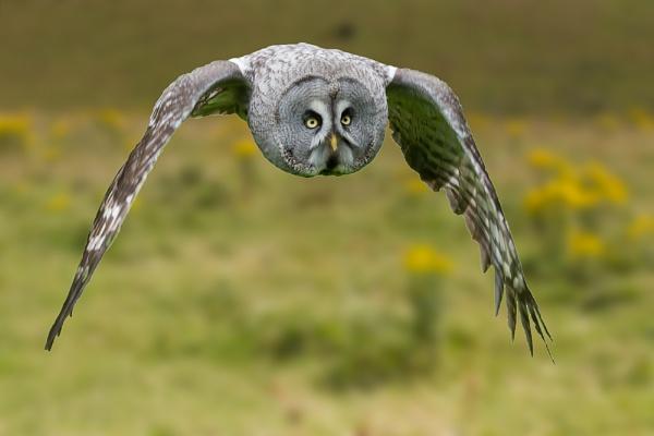 Great Grey Owl by Gerryrys