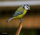 Blue tit by kands