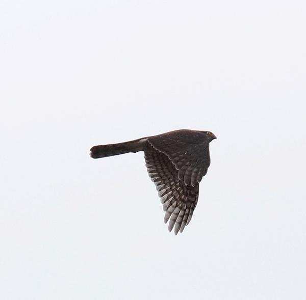 sparrowhawk by sirhcelah100