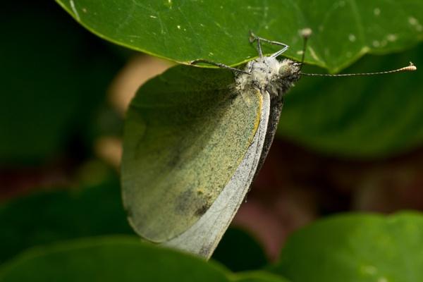 flutterfly by SEMANON