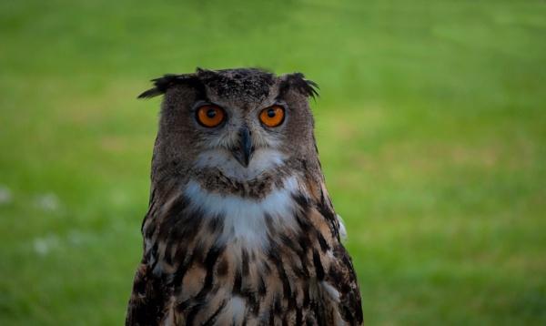 Owl by macc1
