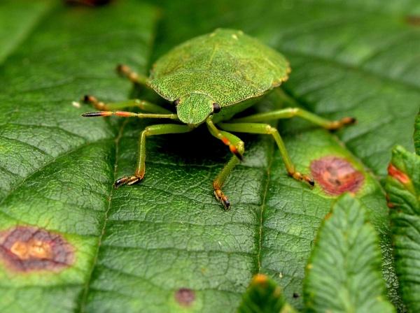 Hawthorne shield bug by Shedboy