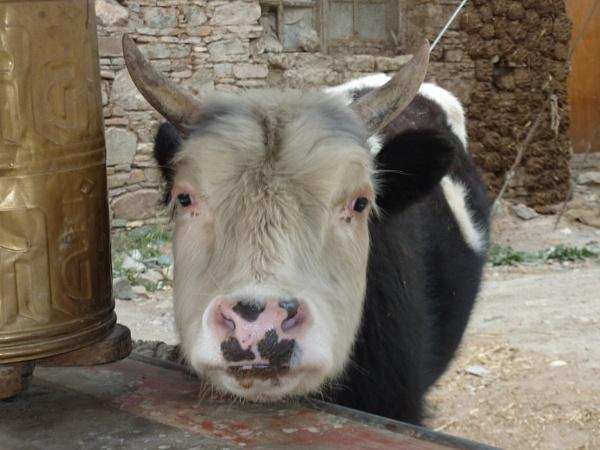 Cow, Tibet, prayer wheel by buntytw26
