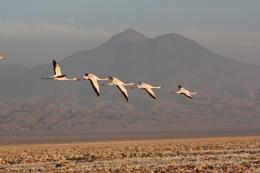 Flamingos in flight, salt flats, Atacama, Chile