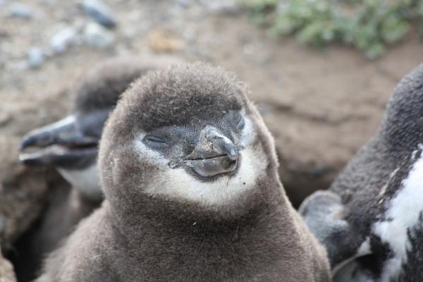 Chile, baby penguin by buntytw26