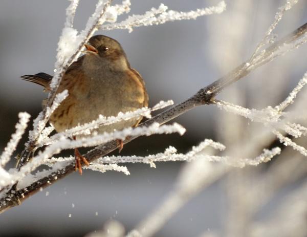 Sparrow in winter by Kochalskim