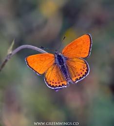 Lesser-fiery Copper