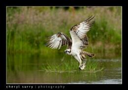Er, an osprey