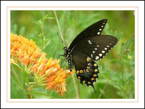 EASTERN BLACK   SWALLOWTAIL   BUTTERFLY  ON  BUTTERFLY  WEED . . . by PattiW