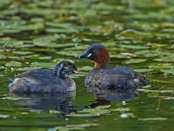 Grebe with offspring by skewey