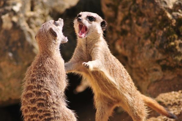 Meerkat (get off my) Manor by Nicksi