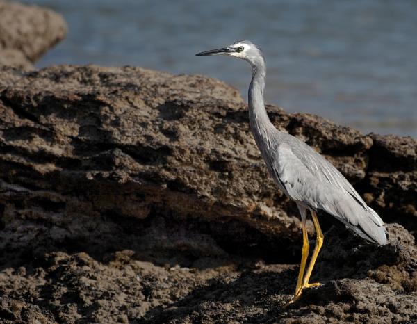 Blue Crane (White Faced Heron) by Davesumner