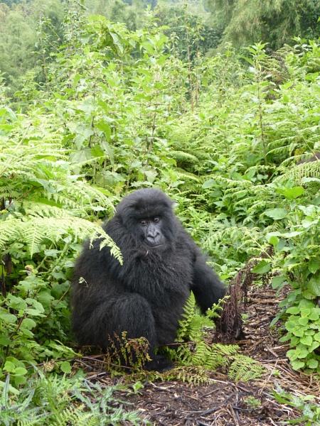 Virunga NP - Hirwa Family Group of Gorillas - Rwanda by Mo_W