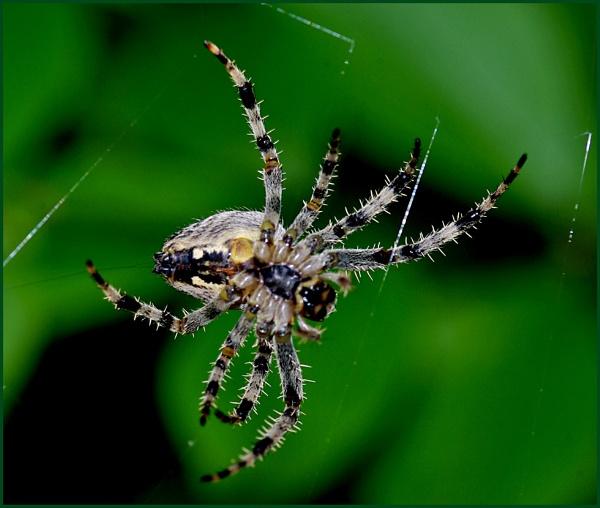 Garden Spider 04 by Badgerfred