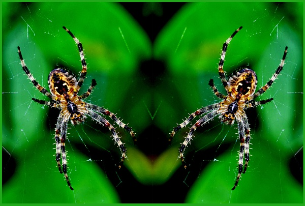 Garden Spider 05. by Badgerfred