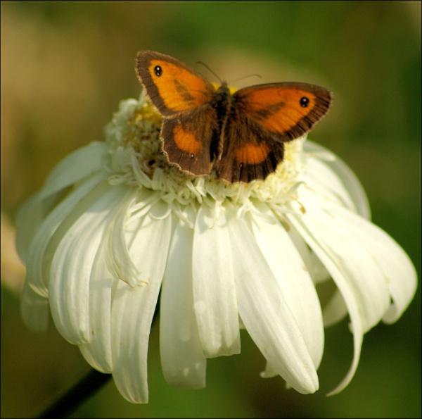 Flutter Little Butterfly by vikki9876