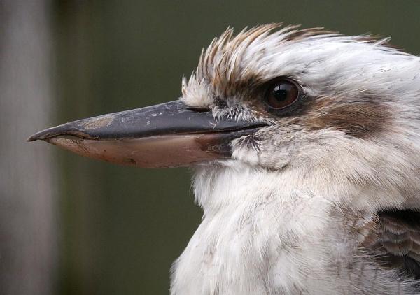 Kookaburra Beak by cameraman
