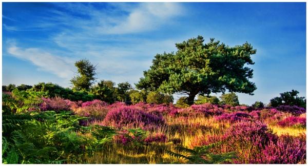 Dunwich Heath in bloom by malleader