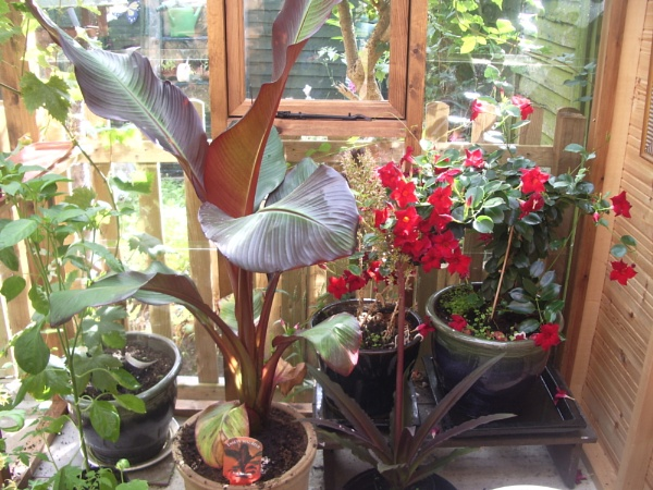 Red Banana or \'Triffid\' by kopo