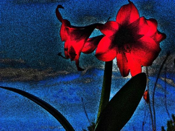 Amaryllis in Winter by roddaut