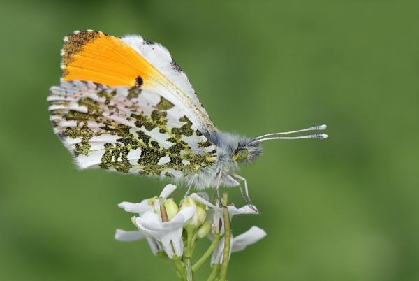 Orange-tip butterfly by nutmeg66