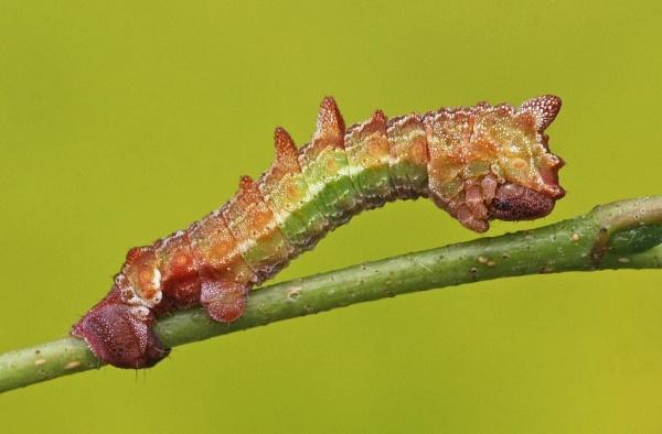 Large Emerald caterpillar by nutmeg66