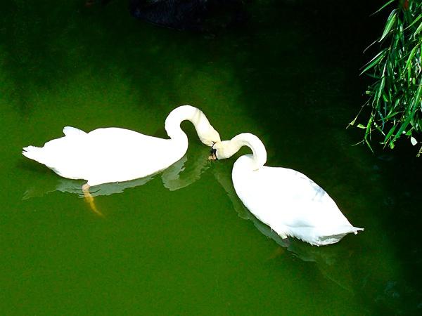 Swan kiss by marimea43