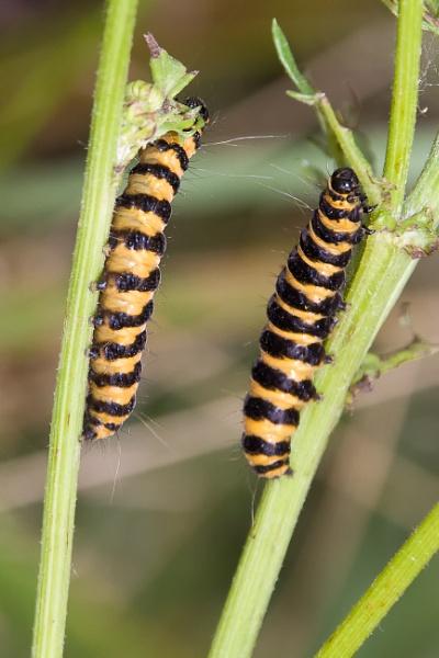 Cinnabar Moth Larvae by Alan_Baseley