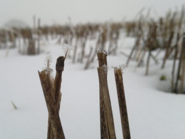 snowy stubble by longhoss