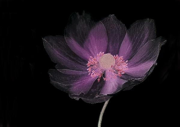 Japanese Anemone by iancrowson