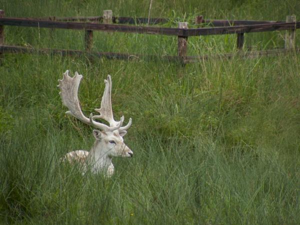 Stag at Bradgate Park by woodlandlad