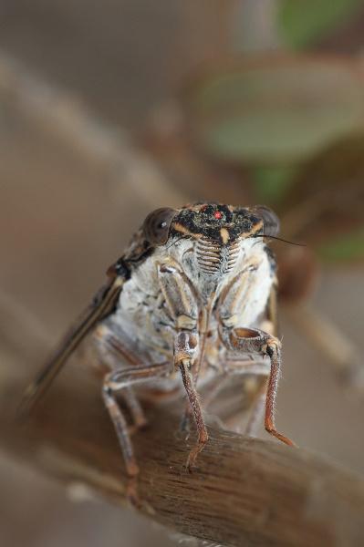Cicada Orni by Metro6R4