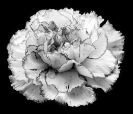 Carnation mono