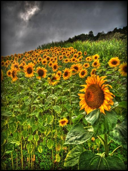 Eden Sunflowers by Franko59