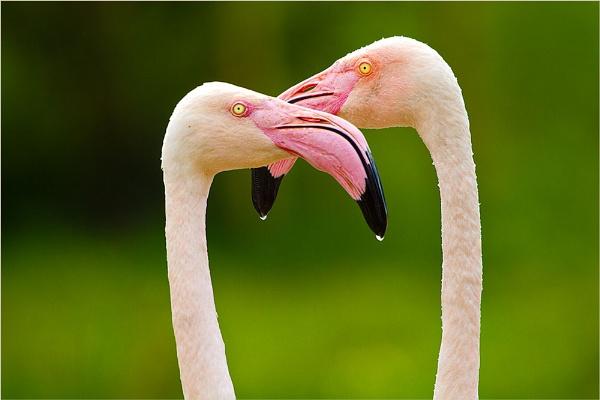 Flamingo Flamenco by chrissp26