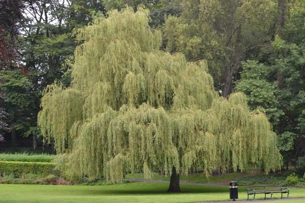 tree by lawsonwazere