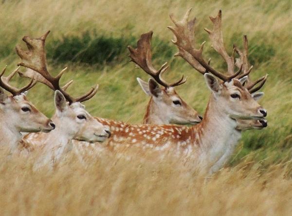 Deer by kathrynlouise