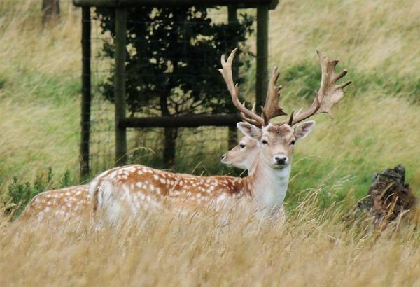 Deer 2 by kathrynlouise