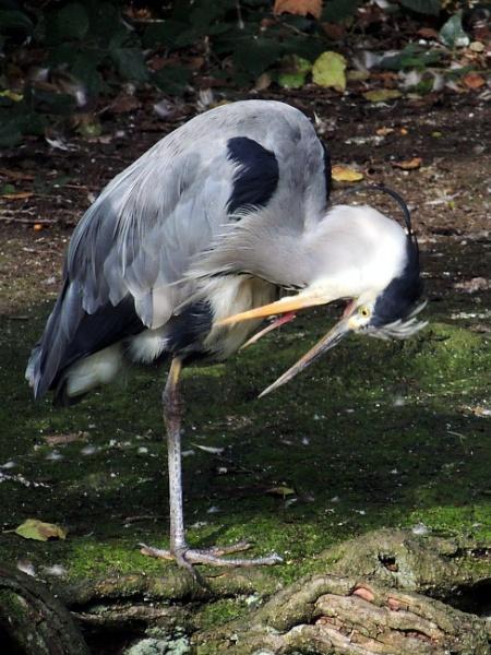 Heron Preening by kathrynlouise